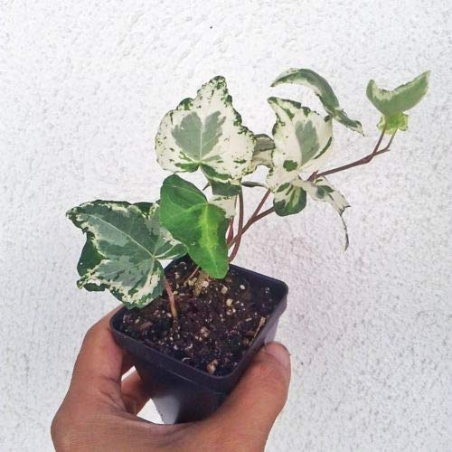 English Variegated Ivy (1 Beautiful Variegated English Ivy Gold Child Potted Plant Ground Cover Fresh Beautiful)