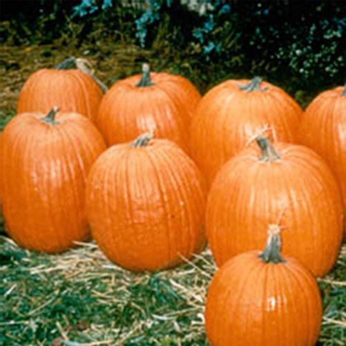 Pumpkin Garden Seeds - Howden Biggie Variety - 100 (Treated) Seeds - Non-GMO, Heirloom Pumpkins - Rich Orange - Extra-Large Jack O
