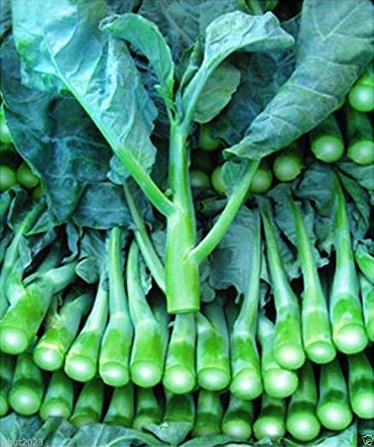Kale// KaiLans// GaiLan// JieLan 50 Seeds Fresh Heirloom Winter Chinese Broccoli