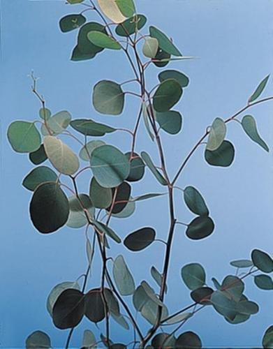 Eucalyptus Silver Dollar Annual Seeds (Silver Eucalyptus)