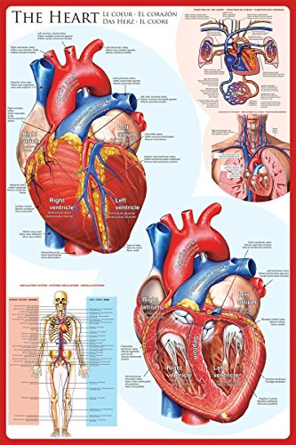 (EuroGraphics Laminated The Heart Educational Chart Poster Print 24x36)