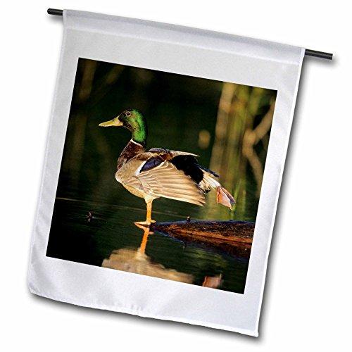 3dRose Danita Delimont - Duck - Mallard male in wetland s...
