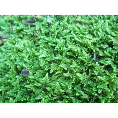 Live Sheet Moss for Vivarium, Terrarium, Bonsai : Live Indoor Plants : Grocery & Gourmet Food