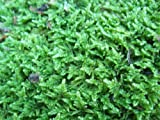 Live Sheet Moss for Vivarium, Terrarium, Bonsai
