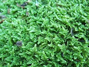 Marvelous Live Sheet Moss For Vivarium, Terrarium, Bonsai
