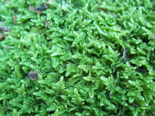 Live Sheet Moss for Vivarium, Terrarium, Bonsai