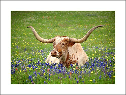 PHOTOSBYJON Texas Longhorn in Bluebonnets 18 inches x 24 inches UNFRAMED Wildflower Photographic - Fort City Center Worth