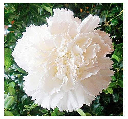 White Jeanne Dionis Carnation Seeds