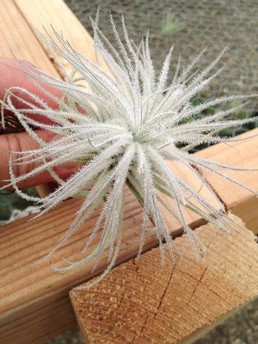 Airplant Tillandsia Tectorum Fuzzy Small (Grown and Shipped from California)