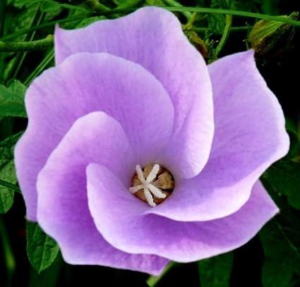 Amazoncom 5 Purple Hibiscus Blue California Alyogyne Huegelii