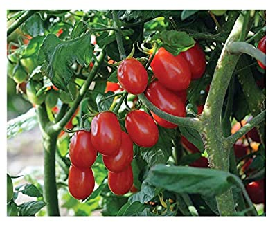 David's Garden Seeds Tomato Grape Red Pearl SL6671 (Red) 50 Organic Seeds