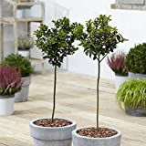 Pair of Holly Tree Standards 90cm Tall Christmas Decorative Perfect for Pots