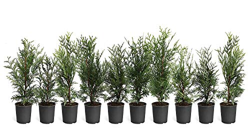 Thuja Arborvitae Green Giant - 10 Live Quart Size Plants - Evergreen Privacy Trees