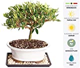 Brussel's Live Gardenia Outdoor Bonsai Tree - 8 Years Old; 8'' to 12'' Tall with Decorative Container, Humidity Tray & Deco Rock - Not Sold in Arizona