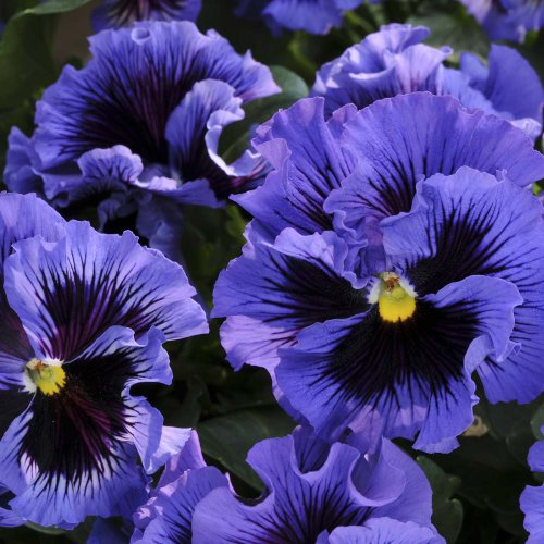 """(APANFRZ)~""""FRIZZLE SIZZLE-BLUE"""" PANSY~Seeds!!!!!~~~~~As Pretty as They Come! hot sale"""