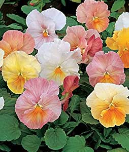 Pansy, Antique Shades Hybrid Mix 1 Pkt. (35 seeds)