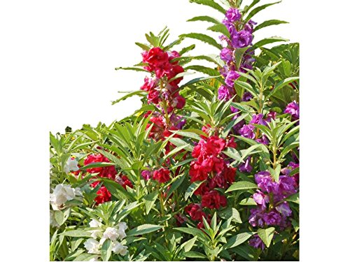 (Camilia Balsam Flower Mix Seeds Camellia Touch Me Not #202 (650 Seeds, or 1/4 oz))