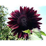 F1 Hybrid Moulin Rouge Sunflower Seeds by Stonysoil Seed Company..Darkest and Most Dramatic Sunflower