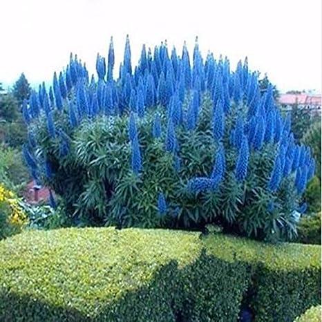 Piante da Giardino Delaman 300pcs Cortaderia Selloana Semi Erba di Pampa Canna Color : Blue