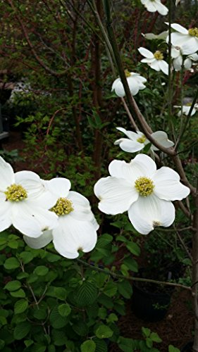 (2 Gallon) CLOUD 9 Dogwood Tree, Spectacular Blooms of White Flowers on This Smaller Dogwood,, Improved Native American Variety,Hardier and More Disease Resistant. by Pixies Gardens
