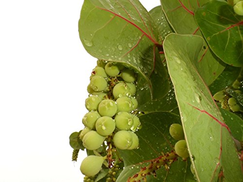 sea grape tree - 4