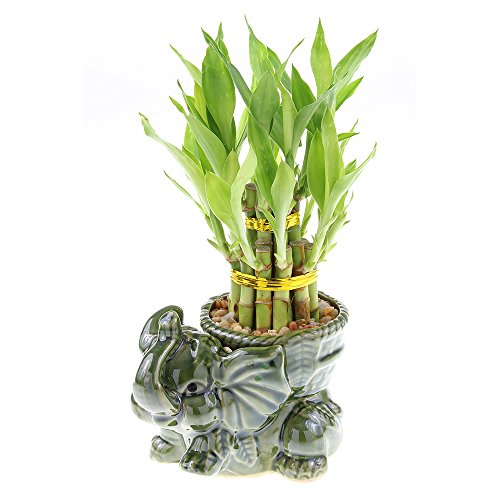 (Two Tiered Lucky Bamboo Tower in Unique Elephant Pot)
