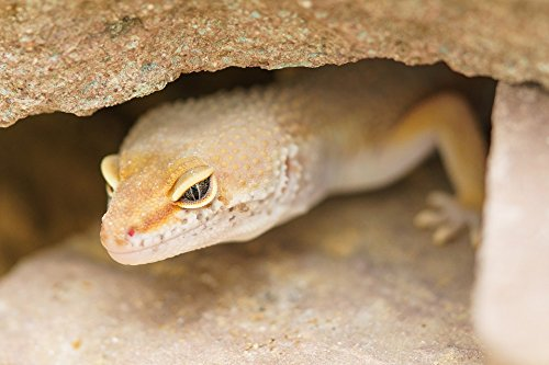 Home Comforts Framed Art for Your Wall Cave Protection Reptile Gecko Camouflage 10x13 (Cave Art Gecko)