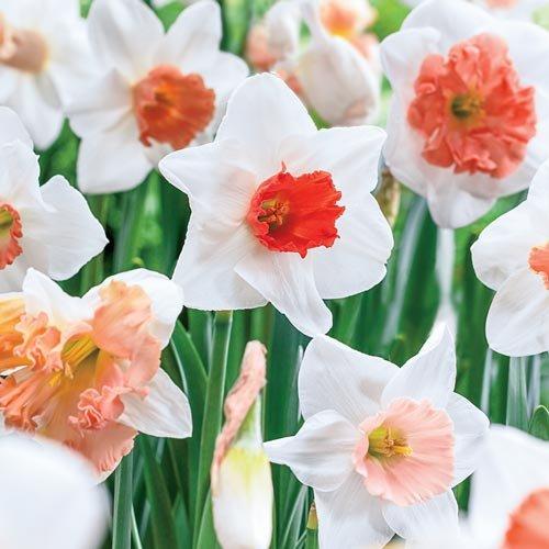 Pink Mix Daffodil/Narcissus - 15 Bulbs - 12/14 cm Bulbs