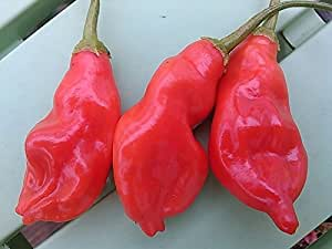25+ Fresh Organically Grown Aji Penec Hot Pepper Seeds