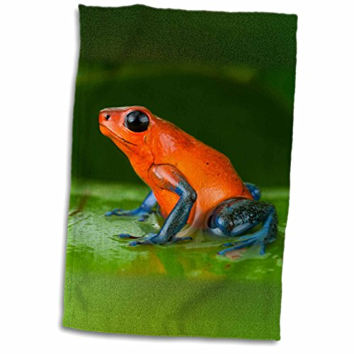 3dRose Danita Delimont - Frogs - Strawberry poison frog, Costa Rica - SA22 AMR0032 - Andres Morya Hinojosa - 12x18 Towel (twl_141702_1)