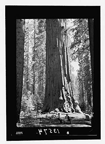 Photo: Sequoia & Kings Canyon National Park,Sherman Tree,California,CA,July 1950