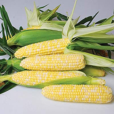 """Nirvana Supersweet"" Hybrid Corn Seeds, 25+ Premium Heirloom Seeds, So Delicious!, (Isla's Garden Seeds), Non GMO Seeds, 85% Germination, Highest Quality Seeds, 100% Pure : Garden & Outdoor"