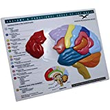 Brain Model & Puzzle: Anatomy & Functional Areas of the Brain