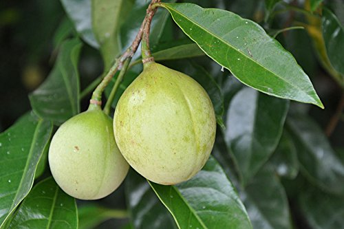 1-nutmeg-tree-seed-myristica-fragrans-pala-mace-fruit-nut-pumpkin-pie-spice