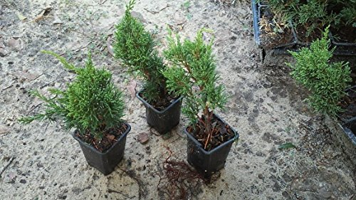 - Shimpaku Juniper, Evergreen, Great for bonsai, 100 plants