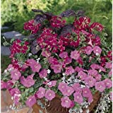 Geranium - Ivy Summer Showers Fuchsia 100 seeds