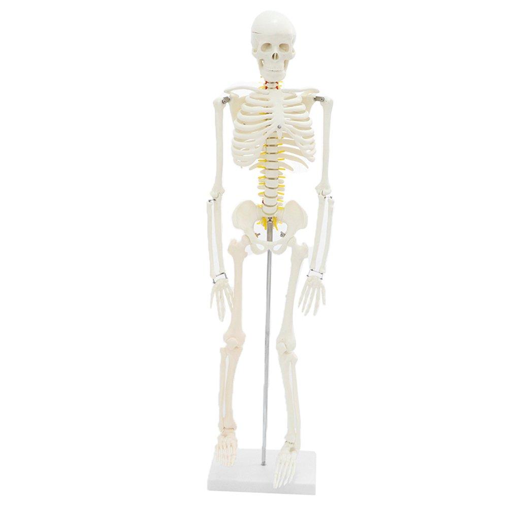 Homyl 85 cm Höhe menschlichen Körper Skelett Modell Anatomische ...