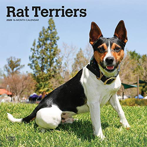 (Rat Terriers 2020 12 x 12 Inch Monthly Square Wall Calendar, Animals Dog Breeds Terriers )