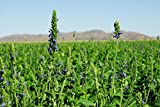 Chia Herb Salvia hispanica Seeds Various Quantity (1/4 lb)