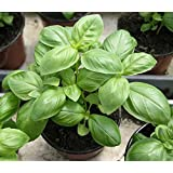 Go Green Sweet Genovese Basil Organic Seeds (Pack of 100 seeds)
