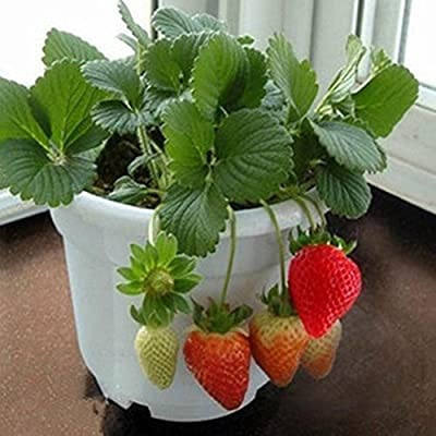C-Pioneer 5 Bags of 100pcs Red Strawberry Seeds Climbing Home Garden Fruit Plant : Garden & Outdoor