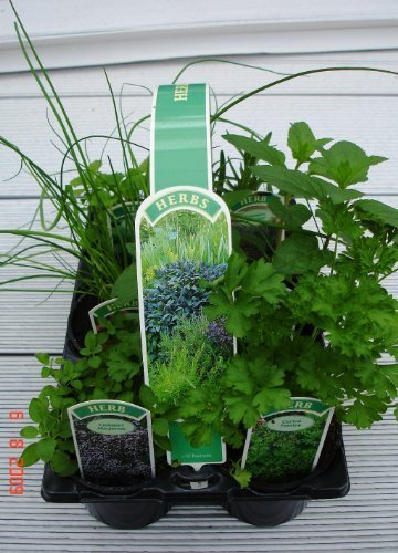 6 Pack of 9cm Mixed Herbs Plants, Parsley Sage, Rosemary, Thyme, Oregano and Mint- 6 Varieties Per Pack The Wolds Collection