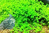 Micranthemum Monte Carlo New Large Pearl Grass Live Aquatic Plant in Tissue Culture CUP For Aquarium Freshwater Fish Tank by Exotic BUY 2 GET 1 FREE