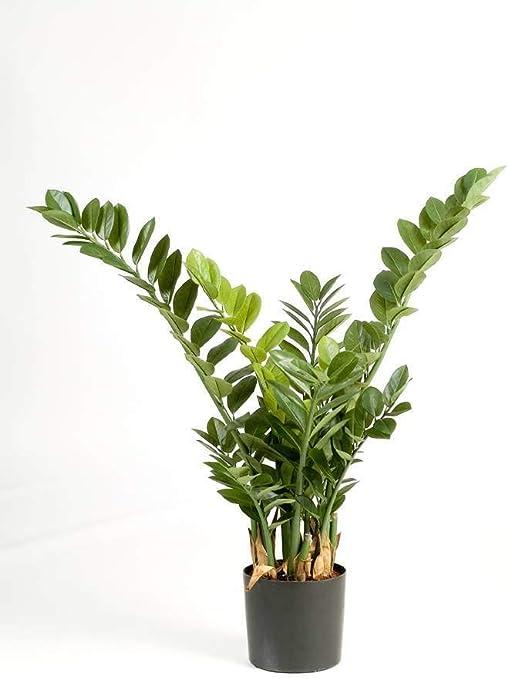 Piante Da Appartamento Zamia.Artplants De Zamioculcas Zamilifolia Artificiale Akono 200 Foglie