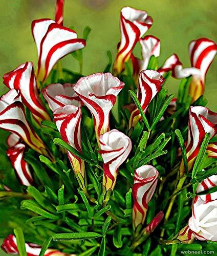 - 100 pcs Seeds Oxalis versicolor Flowers semillas Plants Home Garden Candy Cane