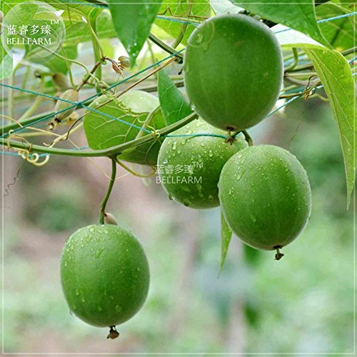 2018 Hot Sale!! Maslin Heirloom Luo Han Guo Siraitia Grosvenorii Fresh Seeds, 30 Seeds, Chinese Herbs Fruits Healthy Garden Plant Easy to Grow