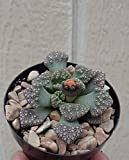 Bright Sun Beautiful Titanopsis Calcarea Succulents #CTAS