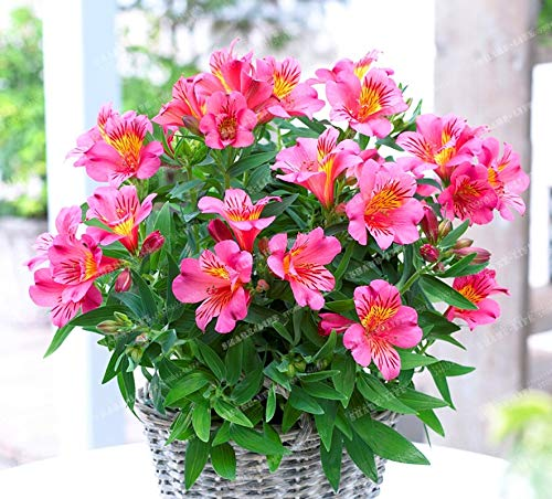 (Mercury_Group, Flower Seeds_Lily Bonsai Cheap Perfume Peruvian Lily Yellow White Red Pink Purple Lily Flower Garden Plant - Mixing Different Varieties - (Color:9))