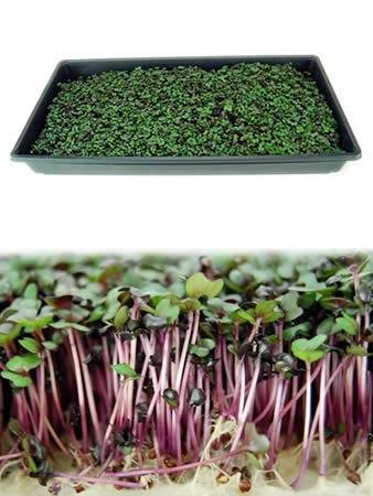 Mountain Valley Seed Company Red Rock Mammoth Cabbage Seeds: 5 Lb - Bulk, Non-GMO, Chemical Free Sprouting Seeds for Vegetable Garden & Growing Microgreens by Mountain Valley Seed Company (Image #3)