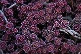 50+ Sedum Spurium Voodoo Flower Seeds/Perennial/Deer Resistant
